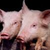 Владимирская природоохранная прокуратура выявила нарушения требований законодательства о предупреждении заноса и распространения чумы свиней