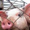 Фермеры добровольно отказываются разводить свиней