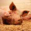 Особо опасные болезни животных находятся под постоянным контролем Россельхознадзора