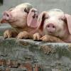 Владимирская природоохранная прокуратура добивается устранения нарушений законодательства о профилактике африканской чумы свиней