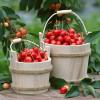 В воскресенье — праздник вишни в Патриаршем саду